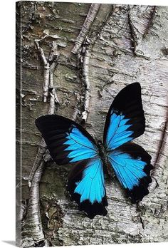Mike Moats Premium Thick-Wrap Canvas Wall Art Print entitled Blue Butterfly on Birch, None