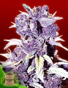 marijuana seeds canada Blue Berry www.irierebel.com