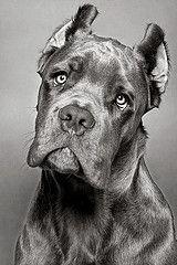 Puppy Italiano. Louis, Cane Corse Italiano (Italian Mastiff).