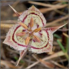 Flower of Tiburon Mariposa-Lily [Calochortus tiburonensis; Family: Liliaceae] in top-view - A rare and endangered species that is endemic to Marin County and grows only on Ring Mountain in Tiburon, CA, USA - Flickr - Photo Sharing!