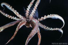 Pictures of Humboldt Squid - images of Dosidicus gigas Humboldt Squid, Squid Tentacles, Octopus Pictures, Scuba Travel, Giant Squid, Shark Diving, Big Animals, Crazy Animals