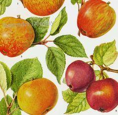 Apple Varieties Original 1890s Color German Animal Lithograph 12 x 9 12 APFELSORTEN