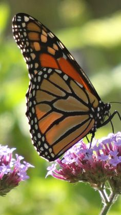 Garden visitor: Monarch butterfly on verbena bonariensis
