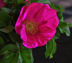 Alaska Wild Rose