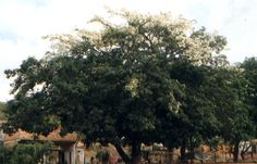 Brasil - Paineira branca Chorisia glaziovii