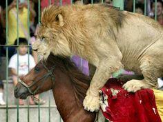 Lion n horse