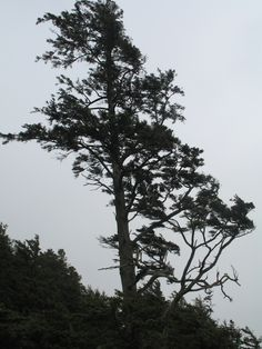 Windswept tree at Ecola State Park, Oregon
