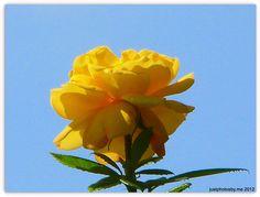 Yellow Arthur Bell Rose