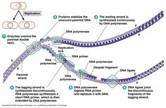Microbial Genetics 2 DNA replication