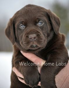 """A Chocolate Lab puppy named """"Goose"""". He looks like Norman!!!"""