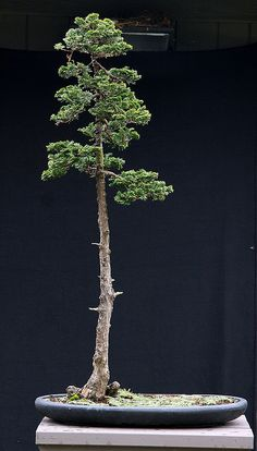 JPB:Bonsai Collection 10 | C obtusa upright 1 11-26-09 | Flickr - Photo Sharing!