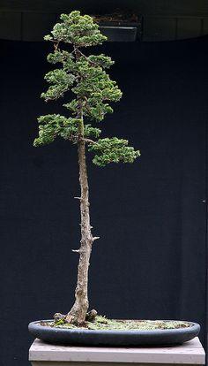 JPB:Bonsai Collection 10 | C obtusa upright 1 11-26-09 | Flickr - Photo Sharing!