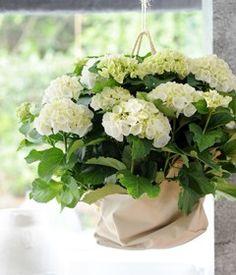 Woonplant maart: Hortensia