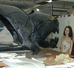 """Dunkleosteus head: it was a placoderm a sort of """"fish"""" covered with armour plates, it lived in Devonian (408million years ago). It could reach 8/10 metres length and had the most powerful bite of any fish, well ahead of sharks, including the Great White. Dunkleosteus could concentrate a force of up to 8,000 pounds (3,628 kg) per square inch at the tip of its mouth, effectively placing it in the league of T Rex. It could open its mouth in one-fiftieth of a second."""