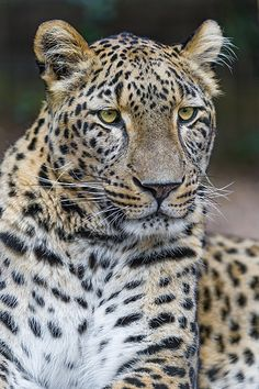 Relaxed female Persian leopard
