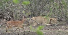 Watch what happens when a young animal stumbles across a waiting lion