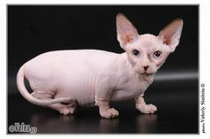 Bambino Cat Cross of munchkin and sphinx 6 Strange Breeds of Hairless Cats Hairless Cats For Sale, Cats And Kittens, Cute Cats, Funny Cats, Funny Animals, Bambino Cat, Munchkin Cat, Exotic Shorthair, Sphynx Cat