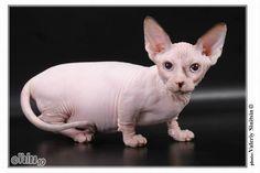 Bambino Cat Cross of munchkin and sphinx  6 Strange Breeds of Hairless Cats   Featured Creature