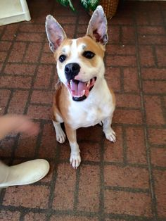 Meet Macgiver, a Petfinder adoptable Hound Dog | Harrisville, RI | Meet Macgiver!This little guy is adorable! He ia about a year old and about 35 pounds. Macgiver was...