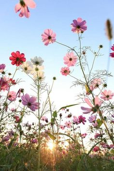 Nature - Cosmos flowers with blue sky. I love these flowers! We have them in our garden and I always look forward to them! Nature - Cosmos flowers with blue sky. I love these flowers! We have them in our garden and I always look forward to them! Cosmos Flowers, Pretty Flowers, White Flowers, White Roses, Happy Flowers, Cosmos Plant, Small Flowers, Floral Flowers, Belle Photo