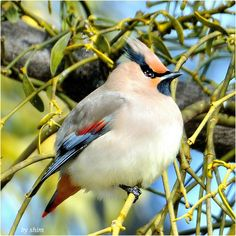 #ThrowbackThursday Japanese waxwing