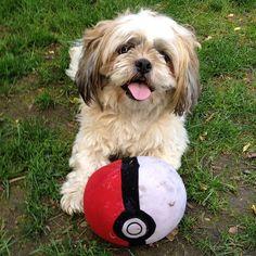 More About Shih Tzu Puppies Cute Dogs Shih Tzu Puppy, Shih Tzus, Cute Puppies, Dogs And Puppies, Adorable Dogs, Animals Beautiful, Cute Animals, Beautiful Dogs, Lion Dog