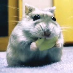 The World's Largest Community of Hamsters Lovers Hamsters Video, Funny Hamsters, Fluffy Animals, Cute Baby Animals, Animals And Pets, Animal Pictures, Cute Pictures, Hamster Care, Happy Puppy