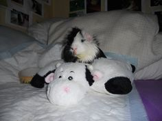 Oreo on his cow pillow 2