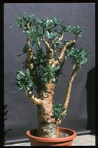 COTYLEDON PANICULATA. (Butter tree) crassulaceae family. A succulent.