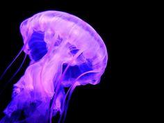 About Jellyfish: A Jellyfish Fish Tank Aquarium is Easier to Maintain than Standard Saltwater Aquariums. Find Out the Scoop on Jellyfish Aquariums & Pet Moon Jellyfish for Sale. Jellyfish Facts, Jellyfish Tank, Jellyfish Aquarium, Jellyfish Painting, Saltwater Aquarium, Aquariums For Sale, Tanked Aquariums, Medusa, Naturaleza