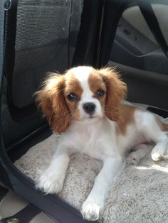 Cavalier King Charles Spaniel Puppy loves to ride in car.
