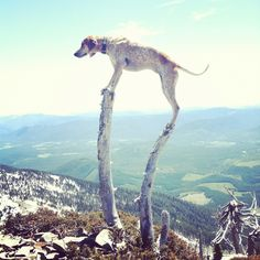 Maddie the Coonhound - a super serious project about dogs and physics  Scotchman's Peak, ID (7006ft)      http://maddieonthings.com/post/25189172856/scotchmans-peak-id-7006ft