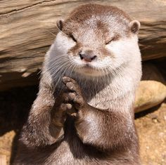 Pray-ry otter: Thanks God is Friday Animals And Pets, Baby Animals, Funny Animals, Cute Animals, Otters Cute, Baby Otters, Otters Funny, Lovely Creatures, Wild Creatures