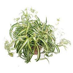 Chlorophytum com Plant Images, Plant Pictures, Hanging Plants, Indoor Plants, Chlorophytum, House Plant Care, Spider Plants, Art Of Living, Gardening Tips