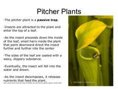 Pitcher plant diagram http://www.uq.edu.au/_School_Science_Lessons ...