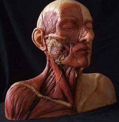 Human's anatomy