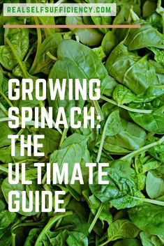 The ultimate guide to growing, caring for, and harvesting spinach.