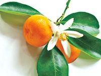 Juicy Clementine. Lose yourself in the allure of the tropics. Sweet clementines mingle with coconut for breezy island flavor. www.partylite.biz/ambercory #candles #partylite #tealights #votives #scentplusmelts #escentialjar