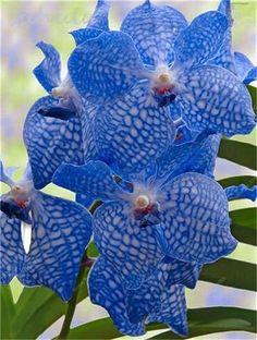 100 Pcs Beautiful Plant Mini Bonsai Seeds Flower Seeds African Vanda Coerulea Seeds Home Watch Perennial Herb Butterfly Orchid