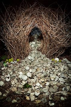 Grey bowerbird bower in Northern Territory, Australia. The grey bowerbird goes to extreme lengths to build a love nest from interwoven sticks and then covers the floor with decorative objects. The more artful the arbor, the greater the chance a male has of attracting a mate.