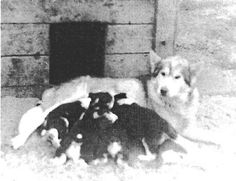 Puppies from breeding of Mikiuk and Noma (1930s), early influential M'Loot dogs. Paul Voelker was founder of the M'Loot strain.