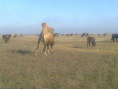 Стадо верблюдов на пастбище.