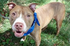 CHAMP aka TEXAS - A0905207 (ALT ID A1087139) - - Manhattan  Please Share:TO BE DESTROYED 09/06/16 **THE PERFECT COMPANION** A volunteer writes: Let me tell you about my perfect companion: he's gentle and calm, tail waggy and friendly, housetrained, low key, with a perfect amount of gentle energy, great on leash, enjoys treats and takes them gently, likes being petted and never stops wagging his tail. And that describes my new buddy, Champ! With a gentle spirit, he&#82
