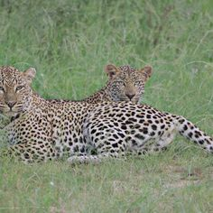 Leopard Mom and Cub by Isabel Display Advertising, Print Advertising, Marketing And Advertising, Kruger National Park, National Parks, Retail Merchandising, Us Images, Cubs, Wall Art Prints