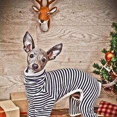 ~Happy Italian Greyhound~