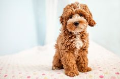 Tessa the beautiful Cockapoo puppy by Happy Tails Photography on Itty Bitty & Fluffy blog