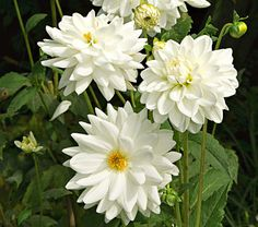 dahlias. another fall bloomer.