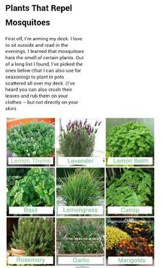 Plant all of these in raised beds-Mosquito Repellent Plants by Eclectic owl