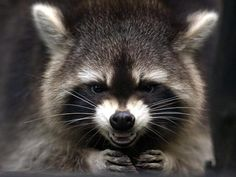 A pair of raccoons attacked a baby while she was sleeping in her crib, police in Georgia say.