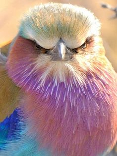 Angry Bird; photograph by John Kok. Lilac-breasted Roller (Coracias caudatus). Onkoshi Camp, Etosha National Park, Namibia.